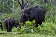 _P6A1744_wild_elephants_mudumalai_bandipur_sanctuary