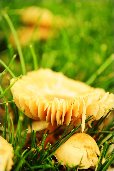 mushroom-w