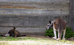 Kangaroo Exotic Game Park