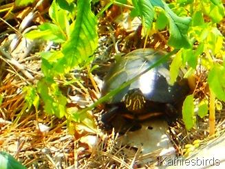 2. bog turtle 2012-kab
