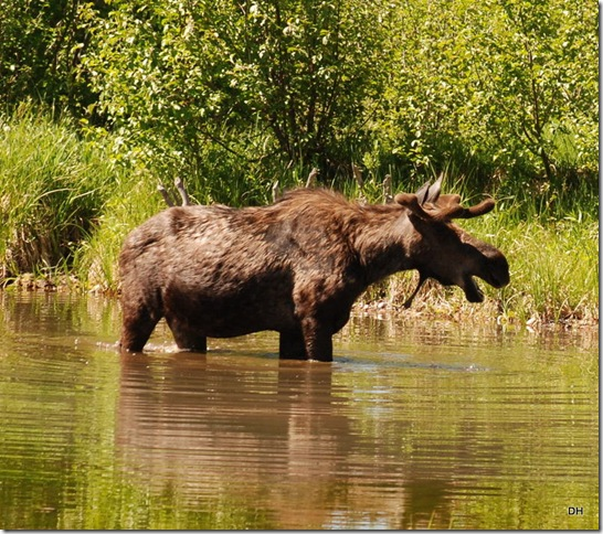06-08-13 A Moose Wilson Road (99)a