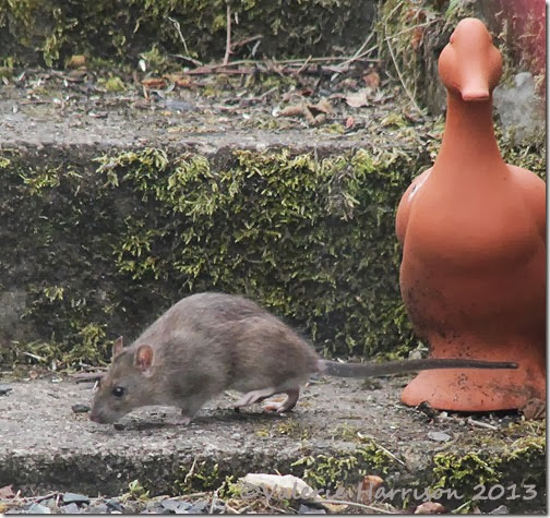 Brown-Rat