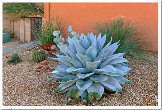 Cold tolerance of agaves