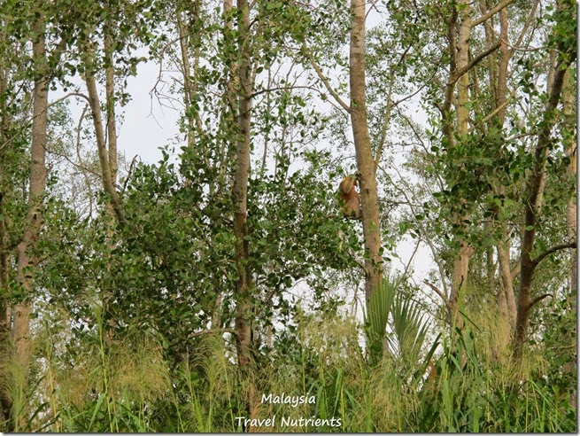 沙巴長鼻猴螢火蟲 (36)