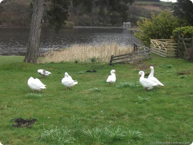 reservoir geese