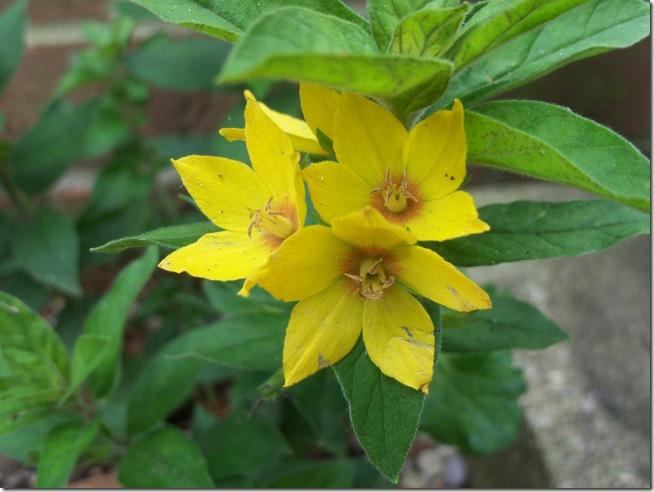 yellow teacup 003