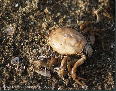 3-masked-crab