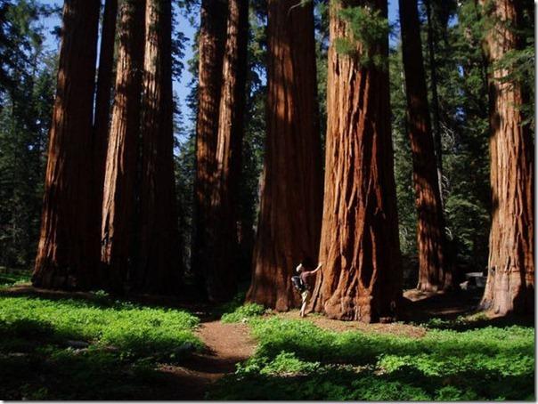 imagens das sequois do Parque Nacional Redwood (7)