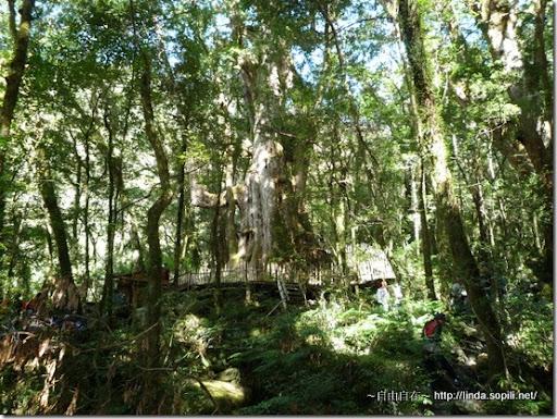司馬庫斯-day2-經典巨木7