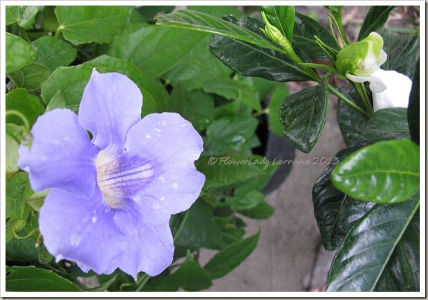 01-07-sky-vine-gardenia