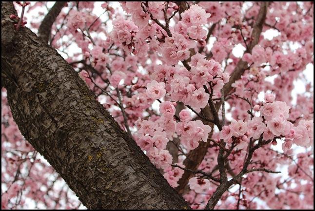 Cherry Blossom_1