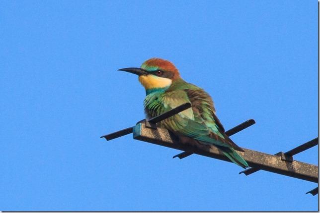 Seaburn_Bee-eater-3