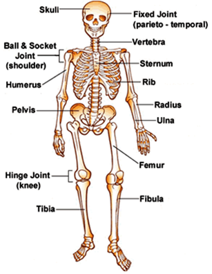 multiple choice quiz on skeletal system | biology multiple choice, Skeleton
