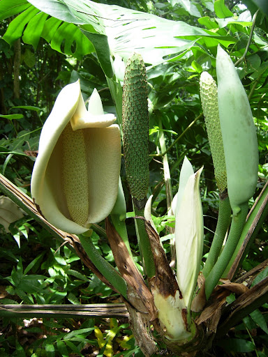 Monstera Deliciosa - Flower, Bud, Two Fruits