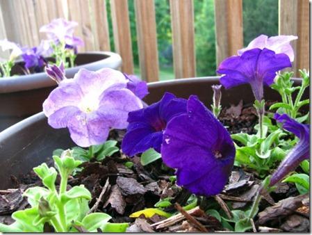 petunia-pots