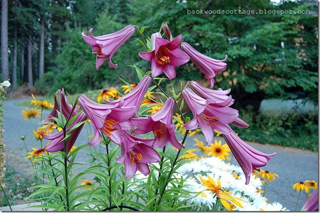 trumpetlilies