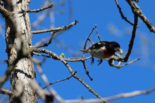 Rose Breasted Grosbeak Leaving a tree
