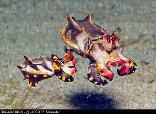 Amazing Pictures of Animals, Photo, Nature, Incredibel, Funny, Zoo, Metasepia pfefferi, Pfeffer's flamboyant cuttlefish, Alex (17)