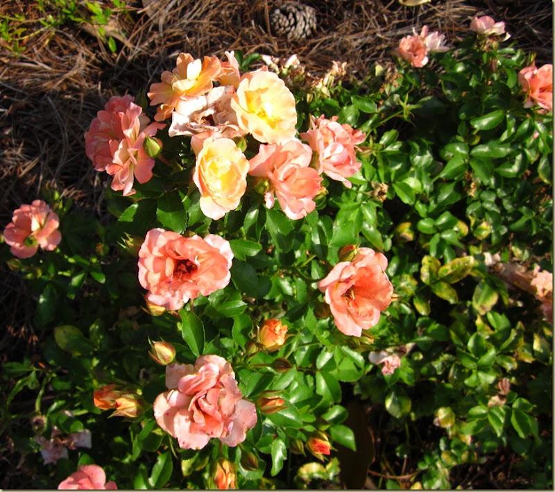 peach driff roses 1