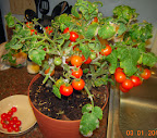 15 week potting mix dwarf tomatoes, after pruning & harvesting