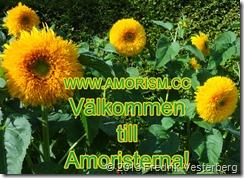 DSC09289.JPG  Gula solrosor. Med amorism