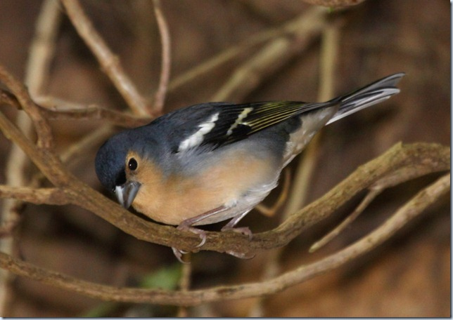 tintillon_chaffinch