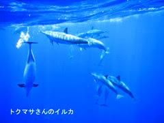 マサさんのハワイ島のイルカ