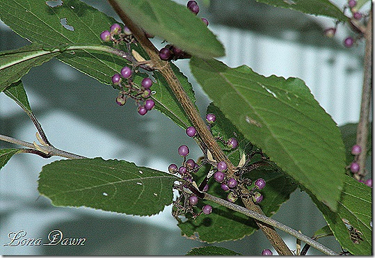 Beauty_Bush_Callicarpa_Profusion