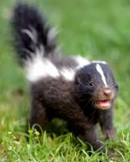 Amazing Pictures of Animals, Photo, Nature, Incredibel, Funny, Zoo, Skunks, Polecats, Mammals, Alex (1)