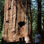 Les séquoias géants peuvent dépasser les 3000 ans, les 30m de circonférence et les 80m de haut. Celui là est donc un arbuste.