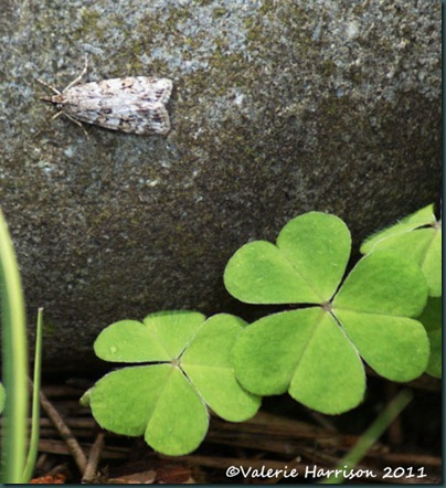 5-scops-and-wood-sorrel