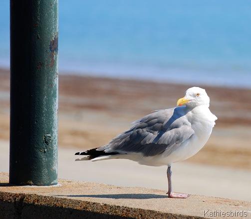 1. Herring gull-kab