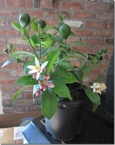 Meyer lemon with fruit and blossoms