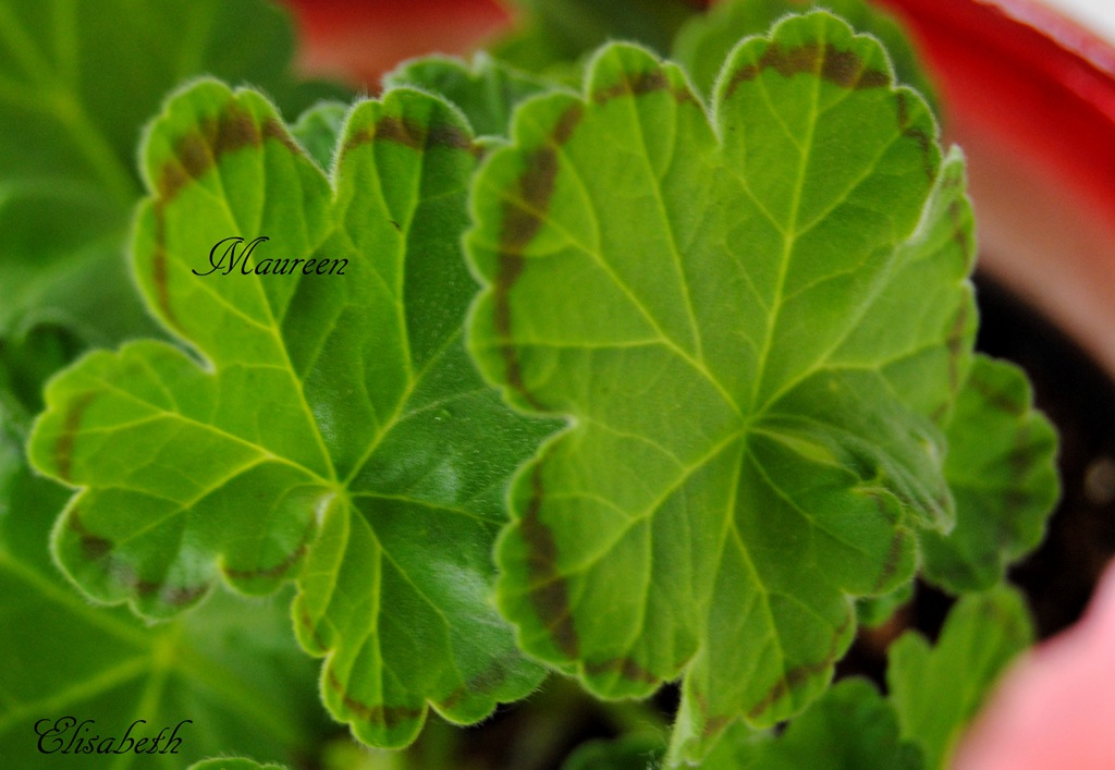 [Pelargonium%2520juni-11%2520117%255B5%255D.jpg]