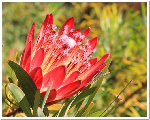 121027_UCSCArboretum_Protea-repens-Summer-Pink_17