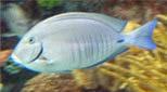 Antilles poisson-ange nain à dos jaune