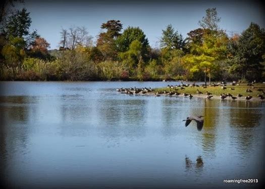 Blue Heron & Canadian Geese