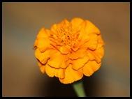 AFRIKANER FLOWER
