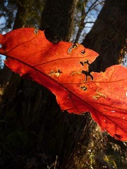 035 Quercus rubra Daniel Grankvist