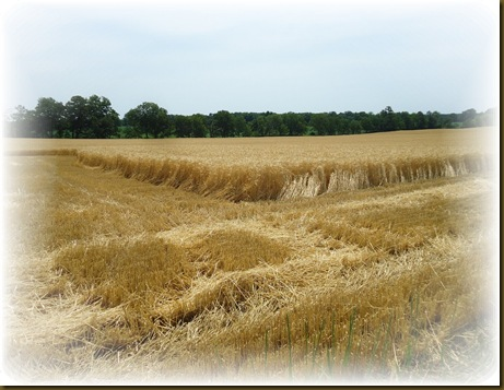 Cut wheat 4