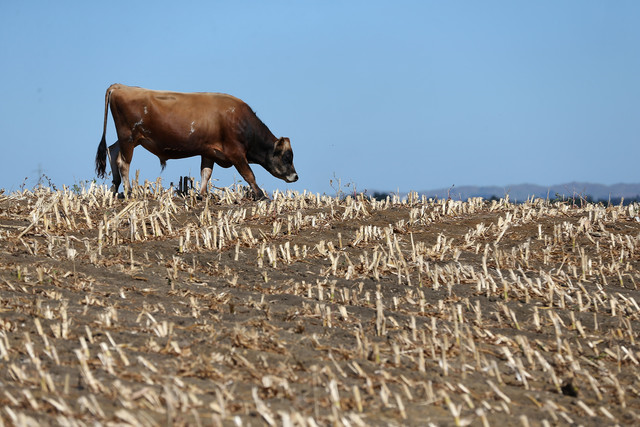 A cow searches for edible grass in drought strickened paddocks in Waiuku, New Zealand. Drought was declared in March 2013 in several North Island regions, including the largest dairying provinces. Photo: Sandra Mu / Getty Images