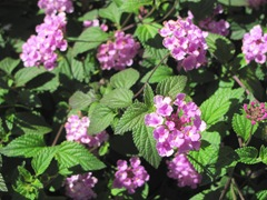 Florida Marriott Cypress Harbour pink flowers