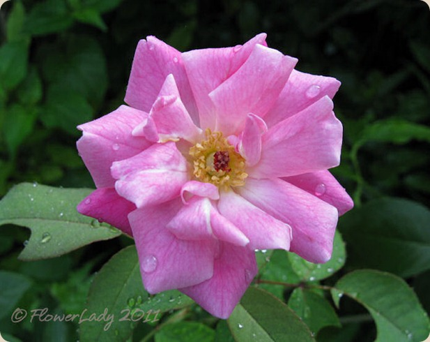 09-10-old-blush