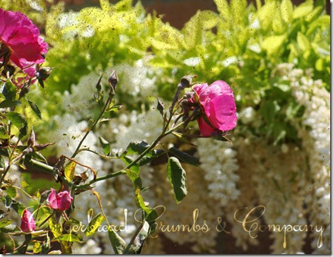 wisteria-rose