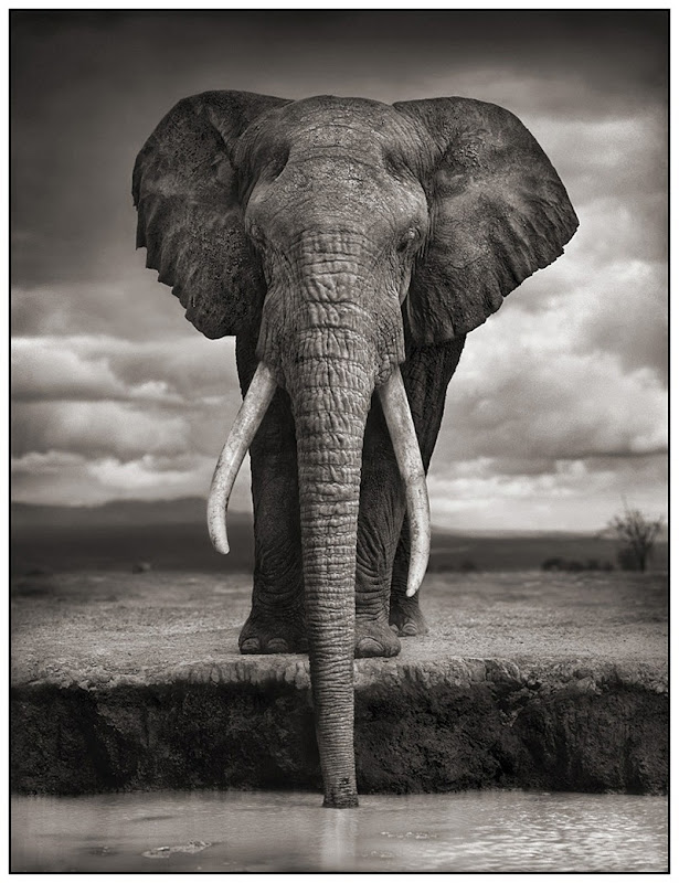 1 Elephant Drinking