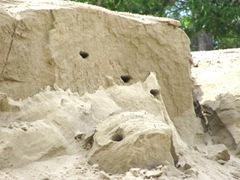 bank swallows nest2