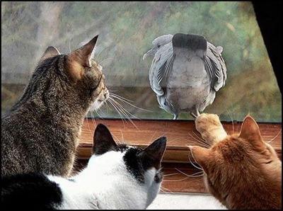 """Голубь: """"Не всё котам масленица!"""""""