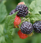 And delicious black raspberries