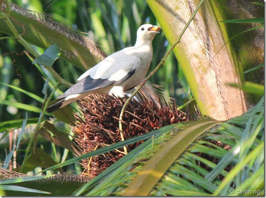 pied imperial pigeon on oil palm (3)