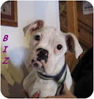 Barrel chested breeds include, but are not limited to, Great Danes, Boxers, Dobermans, Bulldogs, Pugs, etc. Ms. Bix Biz here is a super sweet 5 mo. old pure Boxer in need of a home near Peoria, Il. (see link at end of blog)